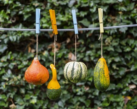 some pumpkins hanging on the wire in the garden