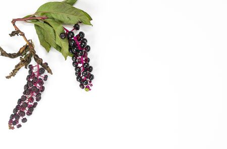 pokeweed berries in autumn on a white surface