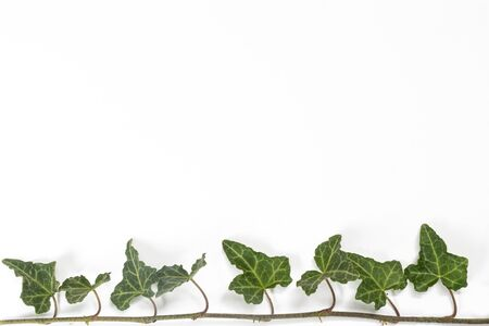 a sprig of ivy on a white surface