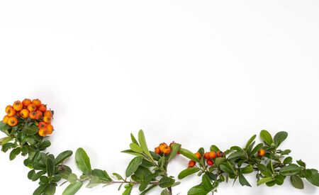 a twig with the orange Pyracantha berries in autumn on a white surface