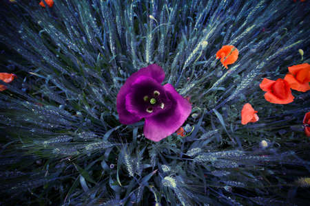 The unlikely colors of poppies in a wheat field Standard-Bild