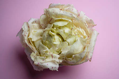 a head of variegated radicchio on a colored surface
