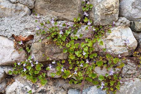 Kenilworth ivy, Cymbalaria muralis. Wild climbing plant on an old wall Standard-Bild