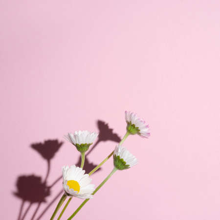 some daisies with their hard shadow on a pink background Standard-Bild