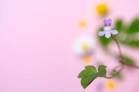 Kenilworth ivy, Cymbalaria muralis. imaged with on a pink background