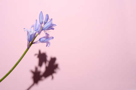 Common Bellflower, Bluebell Hyacinthoides, a ripped blue flower with a hard shadow on a pink background