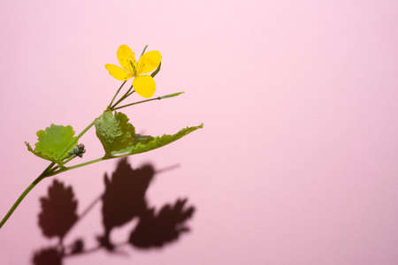 Common buttercup, Ranunculus acris, a yellow flower taken with a hard shadow against a pink background
