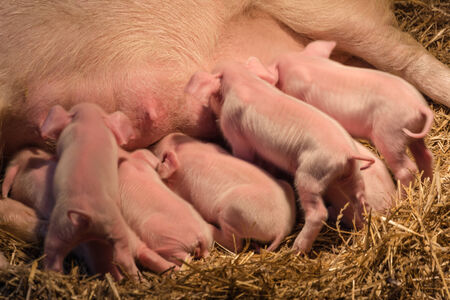 piglets: piglets with a pig