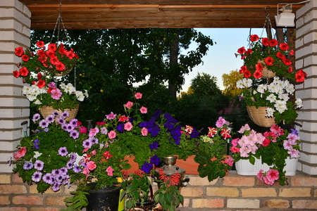 Multicolored flowers petunias in hanging wicker baskets on metal chains outdoor areas  photo