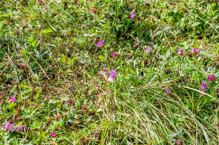red clover: Clover blooming, buds, red flowers, leaf clover