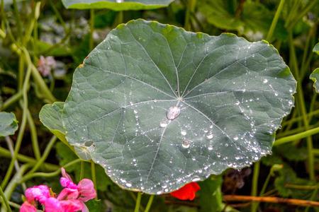 water repellent: Dew drops are on the big green leaf nasturtium