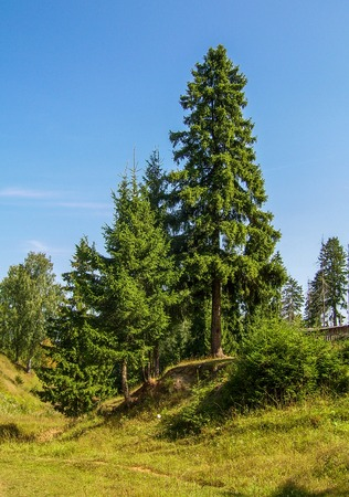 Beautiful pine trees in Russian summer forest.