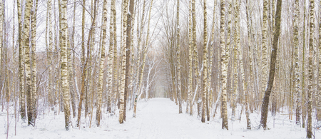 frostbitten: Panorama of winter forest with trees covered snow.