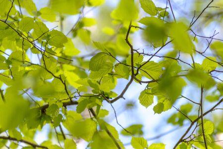 folliage: spring blooming birch twig with green folliage.