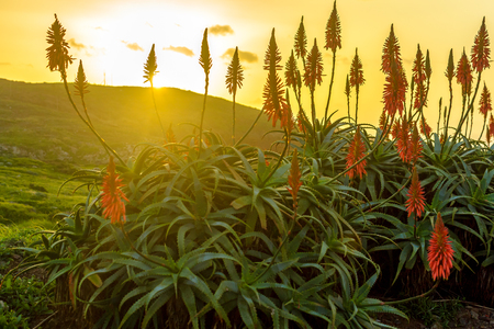 indigenous medicine: Aloe vera flower blooming near the ocean at sunrise on the island of Madeira.