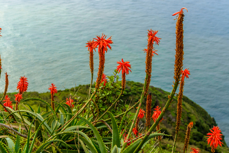 indigenous medicine: Aloe vera flower blooming near the ocean on the island of Madeira. Stock Photo