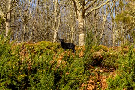 Zwarte jonge schapen die in het hout in de bergen op het Eiland Madera, Portugal lopen