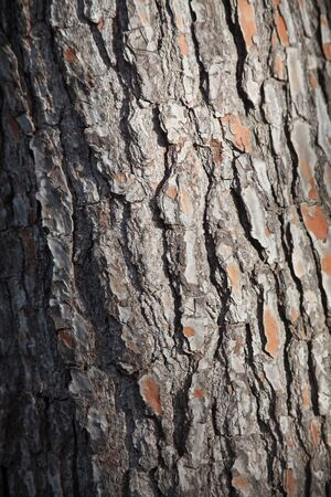 Detail of the texture of the bark of the trunk of a pine