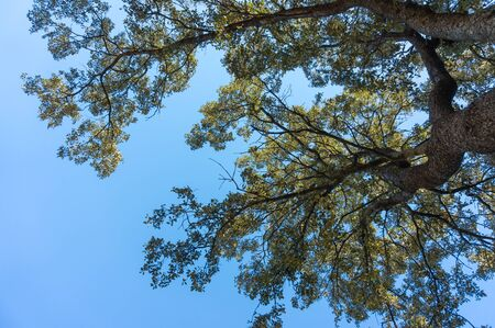 Holm oak branches from below with blue sky Stock Photo