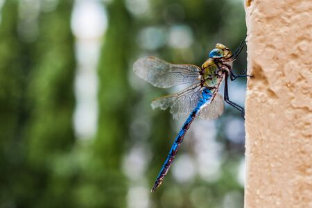 Yellow and blue dragonfly on a wall. Aeshna mixta