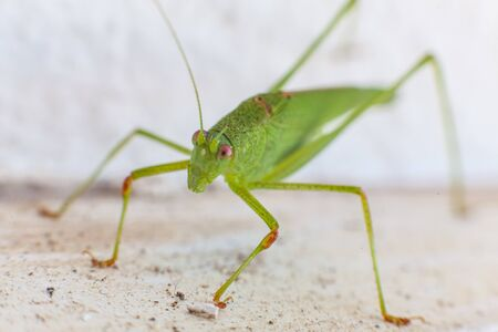 Green grasshopper with red eyes in white background