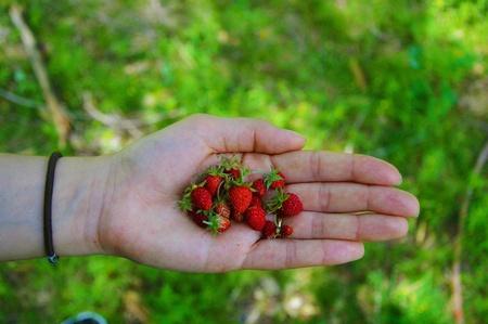 Strawberries natural wild food Stock Photo