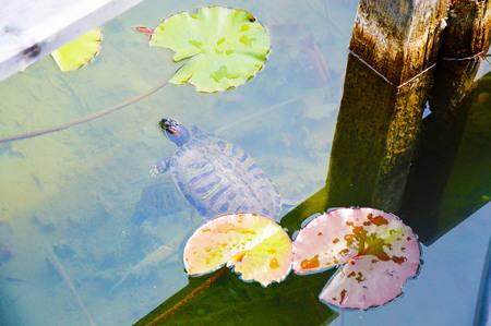 Water plants in aquatic turtle with Bolzano  Bolzano Italy (Caldaro Lake)