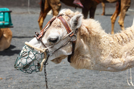 Close up of camel with muzzle resting and waiting for tourists for camel rides in Lanzarote, Spain Stock Photo
