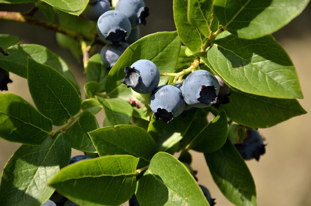Domestic giants blueberries