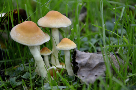 undergrowth: mushrooms in the leaves in the green meadow Stock Photo