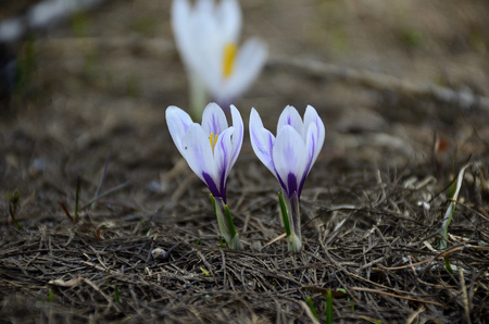 Crocus in spring bloom