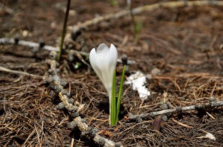 Crocus in spring bloom