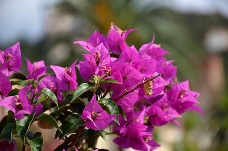 summer bloom of purple bougainvillea