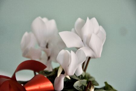 domestic cyclamen with white bloom