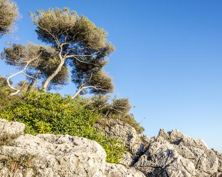 villefranche sur mer: Maritime pines in the Promenade Le Corbusier