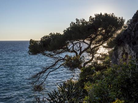 villefranche sur mer: Maritime pine in Cap Martin