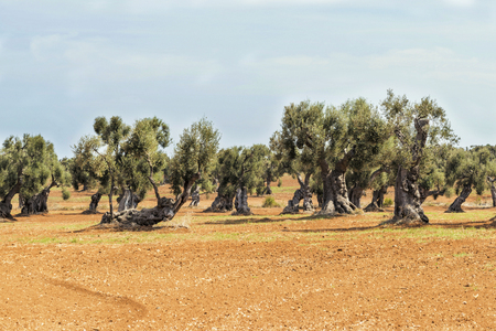 Olive trees in the countryside near the medieval white village of Ostuni