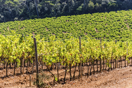 Vineyard of red grapes in Porquerolles
