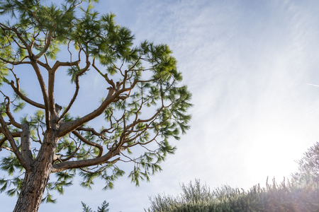 Maritime pine in French Riviera in a sunny winter day 写真素材
