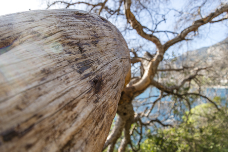 Maritime pine trunk in French Riviera in a sunny day 写真素材