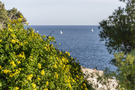 Yellow flowers on the seacoast of Cap Martin in a sunny winter day 写真素材