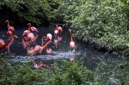 Pink flamingos in a pond