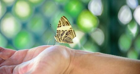 wingspan: Beautiful yellow and brown butterfly sitting on the hand on the background of green lattice pattern Stock Photo