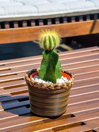 The green prickly cactus in brown wreathed pot standing on the brown wooden table at sunny day