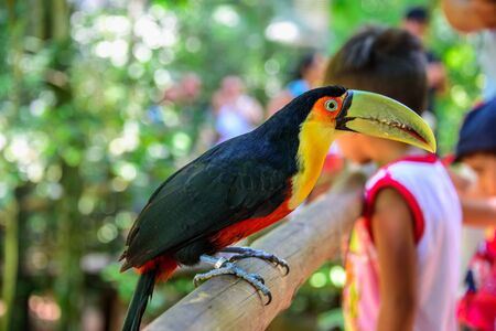 The colorful green-billed toucan sitting on the wood on the background of blurry kids in Iguacu National Park of Foz de Iguacu, the worlds largest and most impressive waterfalls, Parana State, Brazil Reklamní fotografie