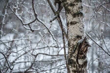 Trunk of birch and pattern of branches covered with snow at snowy spring in Moscow