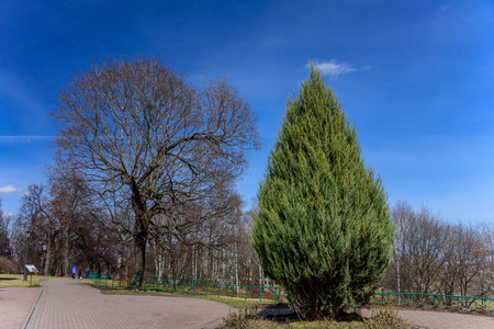 Lonely green thuja on the background of the spring bare trees without any leaves and blue clear sky in park Kolomenskoye, former royal estate, Moscow, Russia
