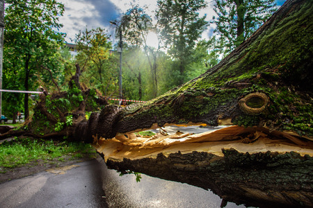 Gigantic tree with a huge crack fallen across the road as a result of the severe hurricane winds in one of courtyards of Moscow city Reklamní fotografie