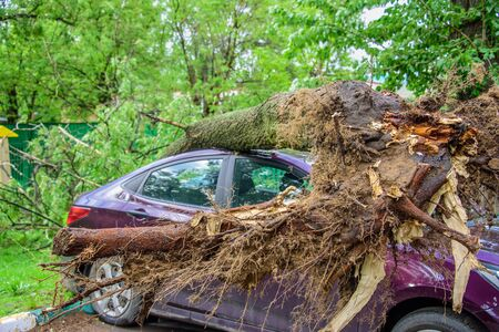 Gigantic roots of the fallen toppled tree, covered with moss, crushed parked purple car and broke the window as a result of the severe hurricane winds in one of courtyards of Moscow city