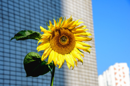 Close-up bright sunflower lit by sunlight at autumn warm day on the background of high building at the city